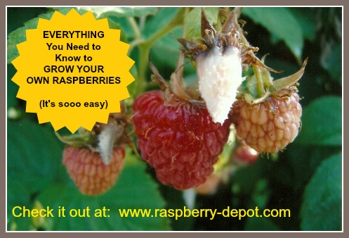 Information about Growing Raspberries - everything you need to know
