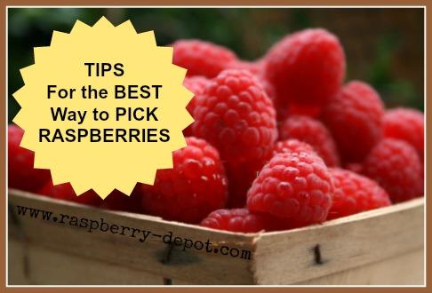 Tips for Picking Raspberries Pick Your Own Raspberries