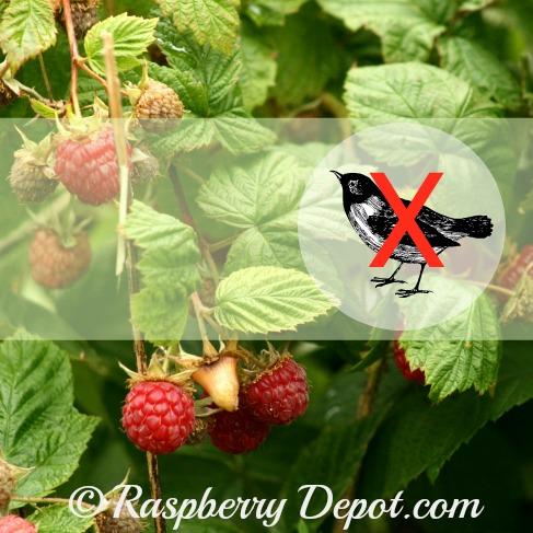 Birds Eating Raspberries in Raspberry Patch /Garden
