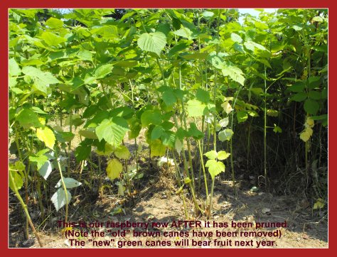 How to Prune Raspberries - Raspberry Patch AFTER Pruning