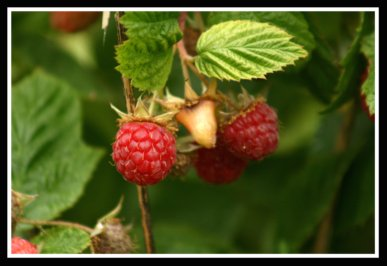 BOYNE Red Raspberry Plant Summer Bearing Raspberries
