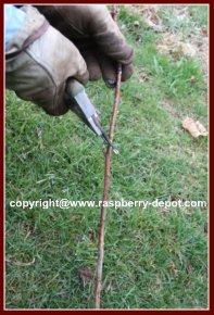 Propagation of Raspberry Plants Home Garden