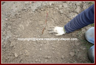 Propagation of Raspberry Plants