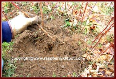 Transplanting Red Raspberries
