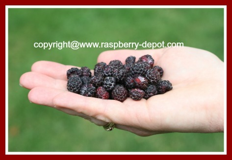 Black Raspberries / Blackcaps / Scotch Caps