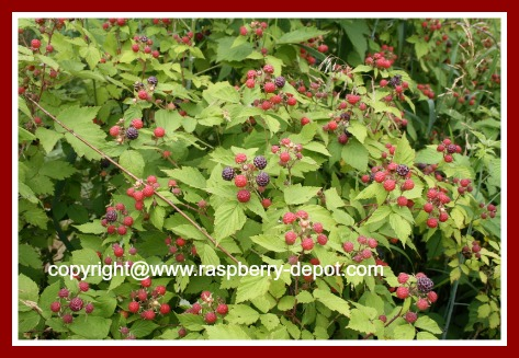 Black Raspberry Patch/Grow Black Raspberries