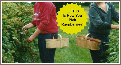 Picking or Harvesting Raspberries the Best Way and the Quickest Way