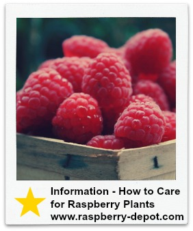 Information How to Care for Raspberry Plants