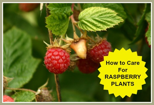 How to Care for Raspberries - Raspberry Plant Care