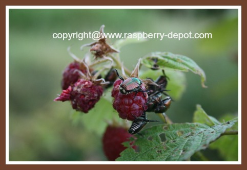 Japanese Beetle Insect Pest on Raspberries
