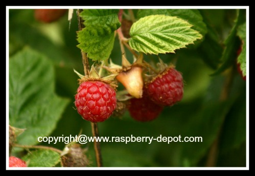 Organic Raspberries Growing Raspberries Naturally