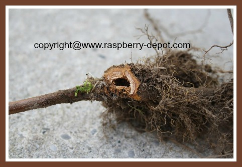 Raspberry Crown Borer Raspberry Insect Pest