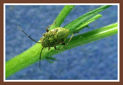 Tarnished Plant Bug - Raspberry Plant Pests