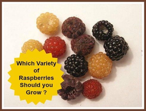 Picture of Varieties of Raspberries Red, Gold, Black, Purple, Wild