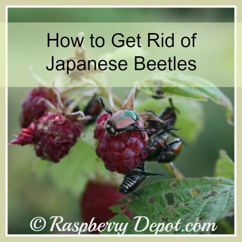 Japanese Beetles Pests on Raspberry Plants /Bushes Damage to Leaves and Berries