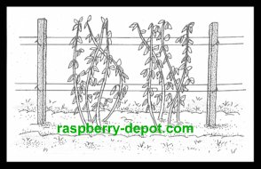 Post and Wire Trellis for Raspberries Support