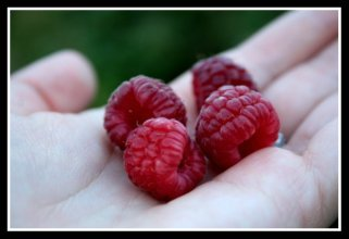 Fresh Red Raspberries in Hand