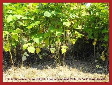 How to Prune Raspberries in Fall - Raspberry Bushes BEFORE Pruning