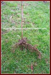 Transplanting Raspberry Plants How to