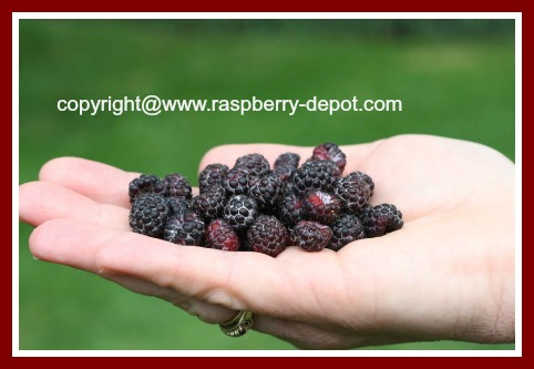 Black Raspberries / Wild Black Raspberries / Black Caps Recipes for