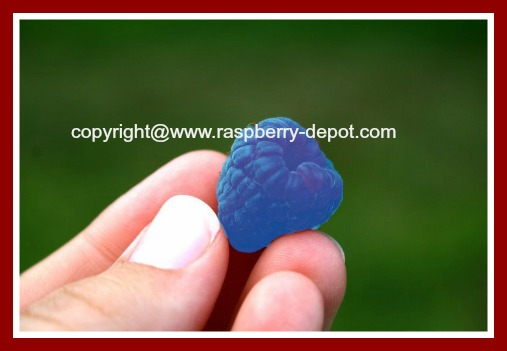 Blue Raspberry Is there Really Blue Raspberries?