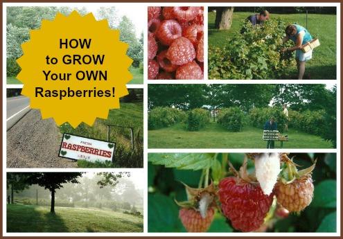 Growing Raspberries at Home