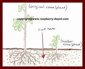 How To Divide Transplant Propagate Raspberries/Plants