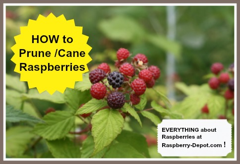 When and How to Prune or Cane Raspberries