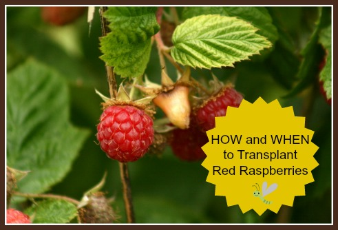 Transplanting Raspberries How and When to Transplant Plants