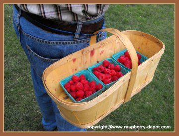 Tips for Picking Your Own raspberries - container tied to waist