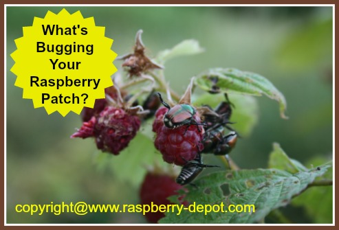 Raspberry Plant Pests and What to Do