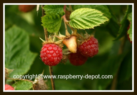 Red Raspberry Plant Boyne Variety Raspberries