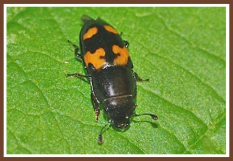 Sap / Picnic Beetle Raspberry Pest